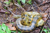 A coiled up yellow anaconda seen deep in the Amazon rainforest in Peru