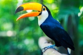Exotic toucan bird in natural setting in Foz do Iguacu, Brazil.