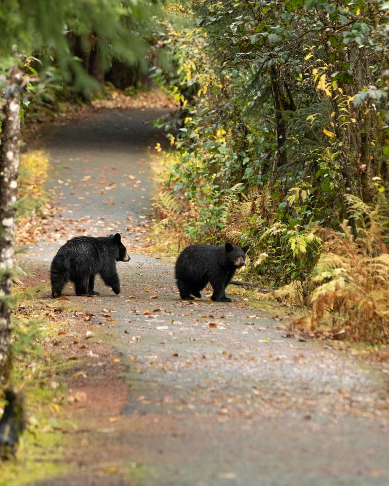 Alaska's Tongass National Forest has one of the highest density of black bears in the world - Picture Courtesy Jim Pfitzer