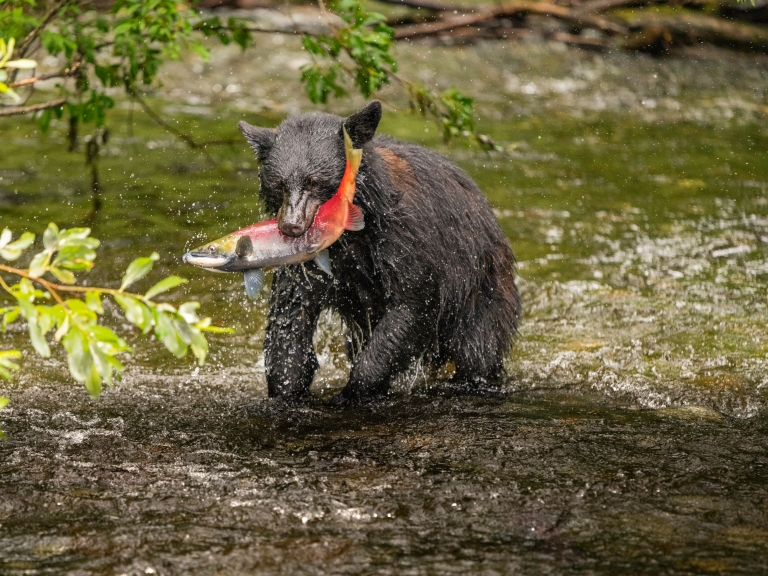 Salmon is a favourite with black bears - Picture Courtesy Jim Pfitzer